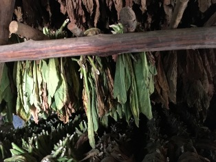 Tobacco leaves waiting their turn to become cigars.